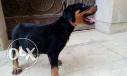 Rottweiler puppy , Male 60 days fully vaccinated and ,large head And