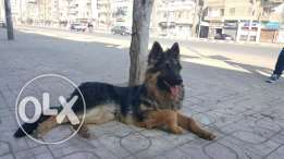 Sell german sheperd long Hair