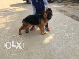 german shepherd male 9 month imported parent