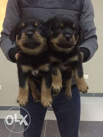 Male and female puppies Rottweiler