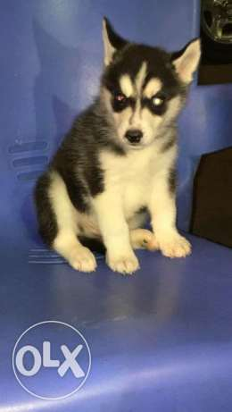 Male puppy husky for sale