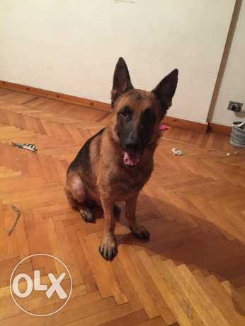 cezer german shepherd الإسكندرية -  1