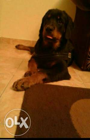 Pure German rottweiler male 5.5 monthes وسط القاهرة -  2