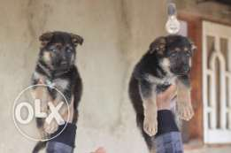 for sale puppies German Sheppard