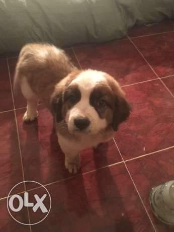 Saint Bernard for Sales 3 month old