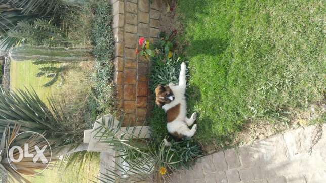 moka for sale , 3 month Saint Bernard , female puppy , vaccinated ,