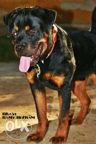 rottweiler pure dog from serpia