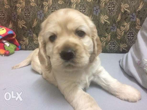 Ameicarn-cocker-spaniel- PUPPIES for Sale شبرا -  3