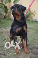 imported Rottwiellir male