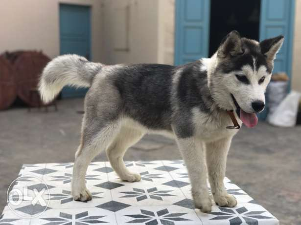 Husky, male, 4 months for sale