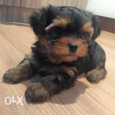 best yorkshire terrier puppies for a perfect price for good home only