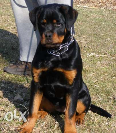 (German Rottweiler Pure For Sale or Exchange with (Golden Retriever