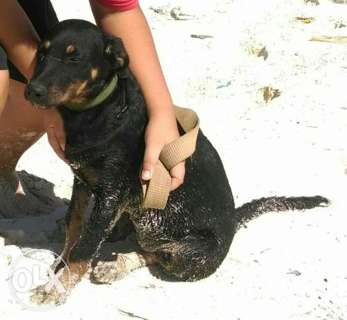 Female Rott 5 months for adoption حدائق الاهرام -  6
