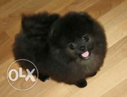 Cute imported pomeranian puppies