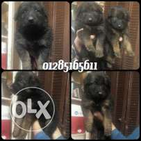 Hight quality germain sheperd puppies 38 day's