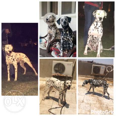 for sale dog dalmation boy and girl