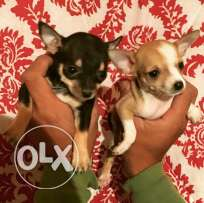 Mini Chihuahua puppies for sale pure breed