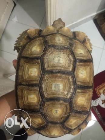 For sale Turtle Solkata ( female) 40 cm Excellent appetite Only 1700