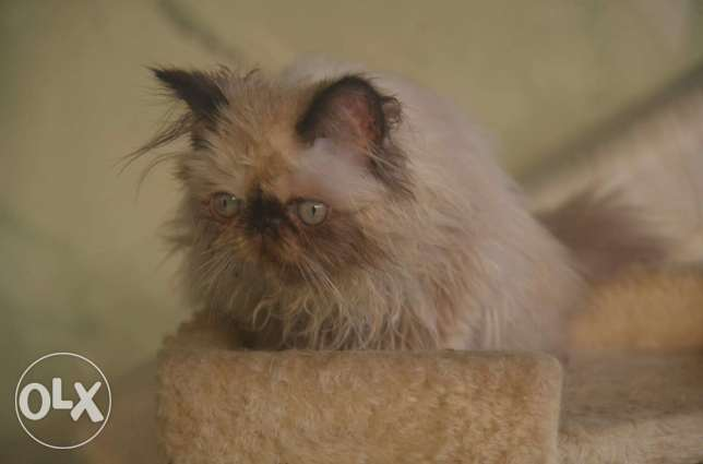 Himalayan cats full pure pickey face مدينة نصر -  1