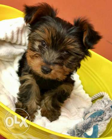 Beuatiful Mini Yorkshire terrier puppy for sale