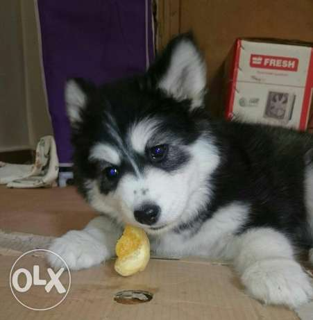 Female husky puppy for sale 55 days more information what's or phone