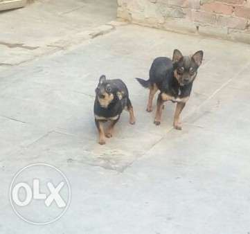 Chiwawa dogs for sale (2 male & 2 female )