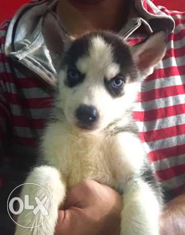 Husky puppies for great prices مدينة نصر -  3