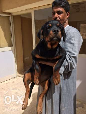 Top Rottweiler Female for Sale