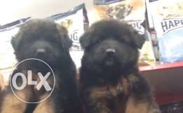 best german puppies for sale