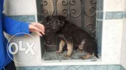 German puppy for sale
