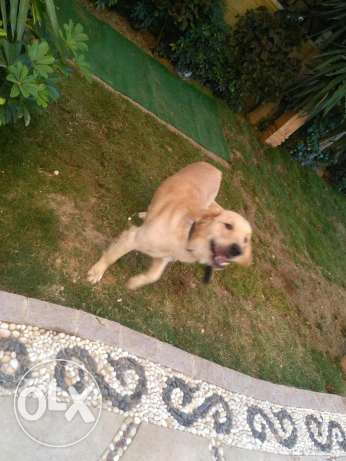 Golden Retriever Male 12 months old القاهرة الجديدة -  6