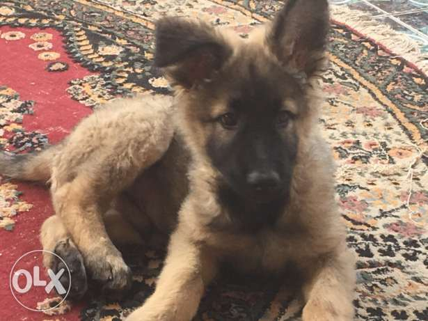 German shepherd طوخ -  3