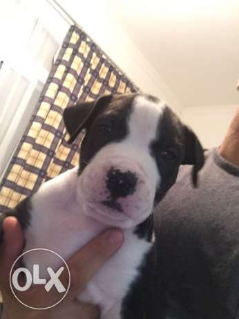 pitbull puppies for sale الغردقة -  5