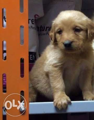 golden retreiver puppies الإسكندرية -  3