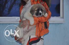 Imported Caucasian puppies for sale male and female