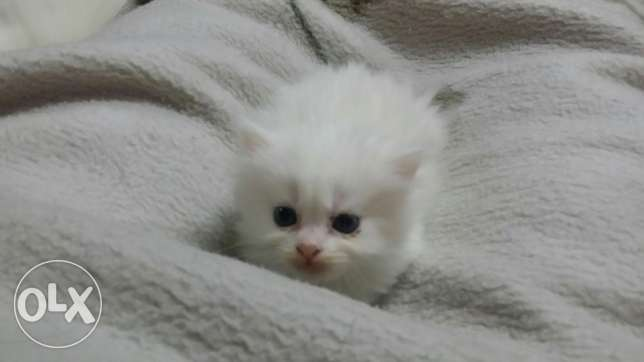 3 Persian kittens 60 days old مدينة نصر -  1
