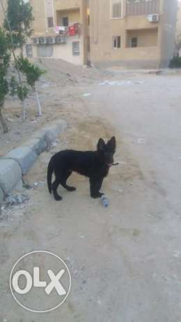 For sale male royal black 6 months