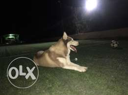 Male Husky for mating only / هاسكى للجواز فقط