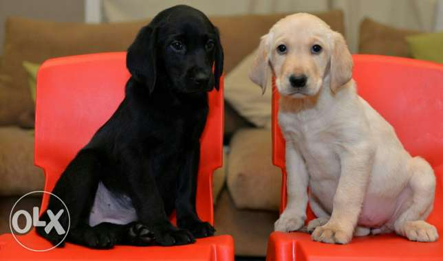 Labrador puppies for sale pure breed مصر الجديدة -  5