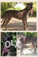Great Dane Males with good breed and good price