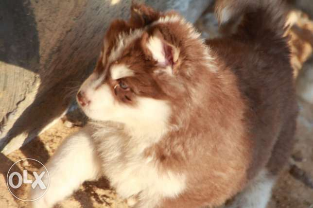 husky puppies high qualit مدينة الرحاب -  3