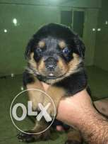 rottwailer puppes