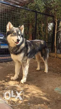 Husky Male for Mating