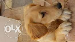 Golden Retriever جولدن ريتريفر اصلى
