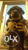 Available Rottweillers Puppies for Sale
