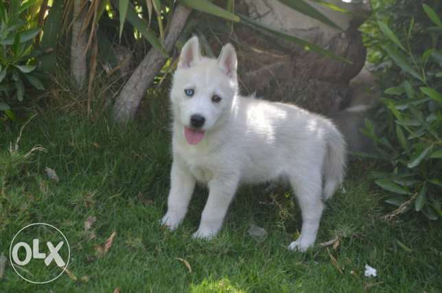 Male siberian husky puppy for sale