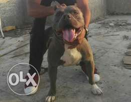 For sale male bully