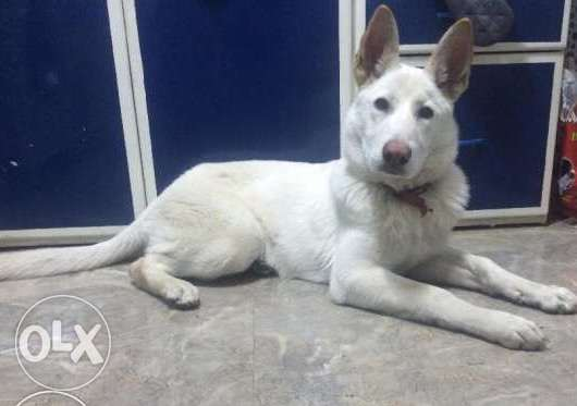 Female White German Shepherd