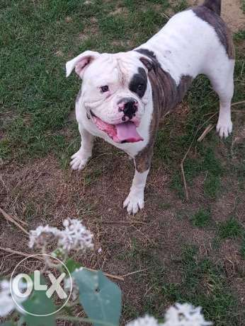 Bully Johnson bulldog for sale مدينة الرحاب -  3