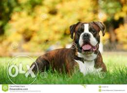 boxer dog for mating